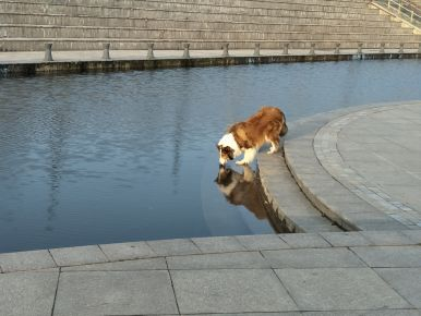 Dog is drinking water